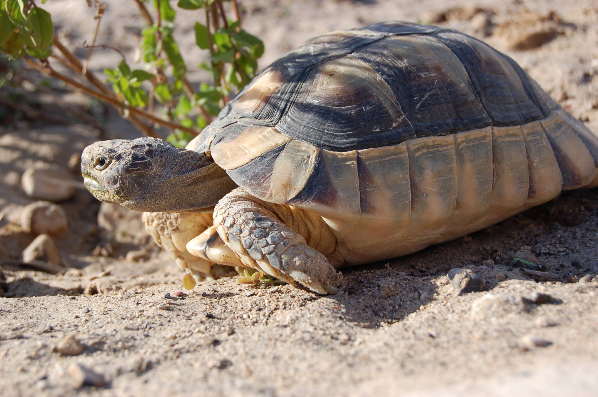 Marginated tortoise for sale online