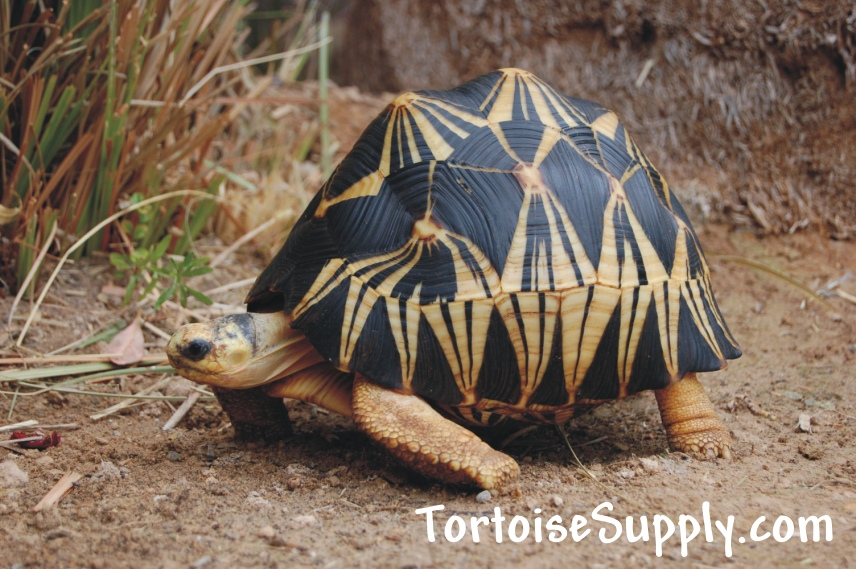Radiated tortoise breeder