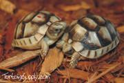 Baby Marginated Tortoise