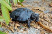 Juvenile Burmese Black Mountain Tortoise