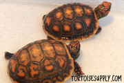 High Color Baby Redfoot Tortoise
