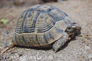 Greek tortoises for sale