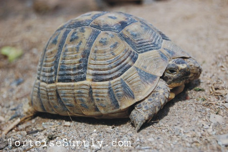 Greek tortoises for sale