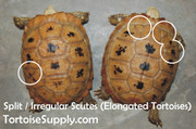 Baby Elongated Tortoise - B Grade