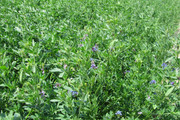 Seeds: Alfalfa - Non Dormant - 7 oz.