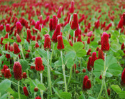 Seeds: Crimson Clover - 7 oz