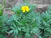 Seeds: Desert Marigold - Small Bag