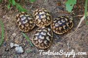 Baby (Libyan) Greek Tortoise