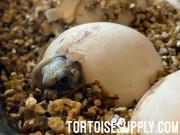 Baby (Jordanian) Greek Tortoise