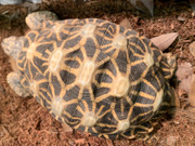 Indian Star Tortoise (Adult Male)