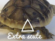 Example of a split scute in a baby hermanns tortoise.