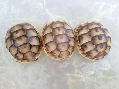 Baby Middle Eastern Greek Tortoises