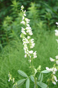 Seeds: White Sweet Clover  - 8 oz.
