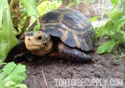 Forstens Tortoise