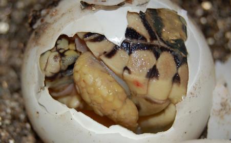 Leopard tortoise hatching.