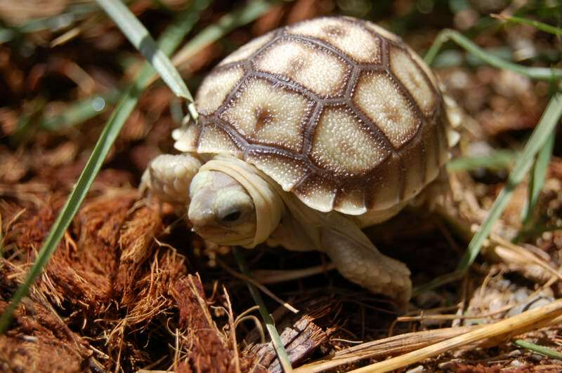 96dbc3bc408 Baby Sulcata Tortoise