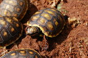 Baby Redfoot Tortoise