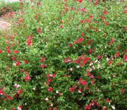 Mature Hot Lips Sage plant
