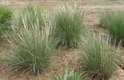Live Plant: Deer Grass