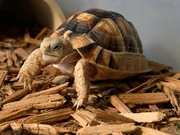 Egyptian Tortoise (2-3 year old male)