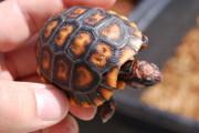 Darker cherryhead tortoise.