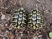 Photo example of the available pair (not necessarily the exact animals)