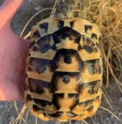 *Exact Tortoise* Male Hermanns Tortoise (Eastern) #1