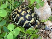 *Exact Tortoise* Female Hermanns Tortoise (Eastern) #1