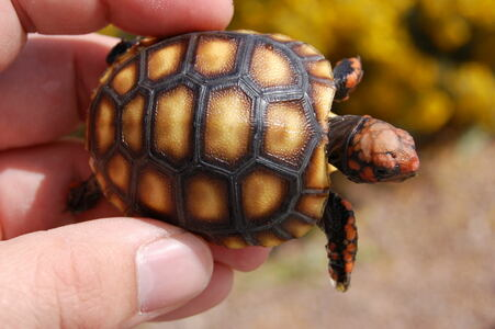 Beautiful baby cherryhead tortoise for sale.