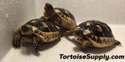 "Big Baby Marginated Tortoise 2.5""+ (3-5 month olds)"