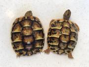Baby Hermanns Tortoise (Western)