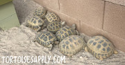 Russian Tortoise Starter Colony (2 males and 6 females)