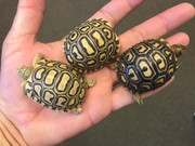 Baby Leopard Tortoise Trio (Free Shipping!)