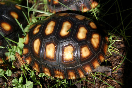 Juvenile cherryhead redfoot tortoise for sale.