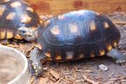 Yellowfoot Tortoise (Adults)