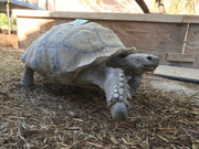 Sulcata Tortoise (adult male - pickup only)