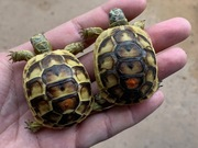 Baby (Southern & Northern Ibera) Greek Tortoise (6 month olds)