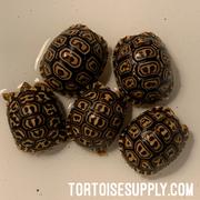 Baby Leopard Tortoise (babcocki x pardalis hybrid)