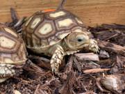 """Baby Sulcata Tortoise (Sudan """"Giant"""" Locale)"""