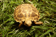 Baby Forstens Tortoise