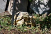 Russian Tortoise (females only)