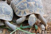 Hermanns Tortoises