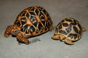 Baby and 1 year old Indian star tortoise