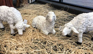Photo of all three lambs in the Nativity set.