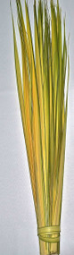 "Orders will ship one to two weeks before Palm Sunday (Orthodox included). Long Double Palm Strips from Fan Palms. Individual Long Palm Strips have been stripped and are ready to hand out . Range in length from 24"" to 36"". All Palm Strips are Packaged in 100 strips to the bundle"