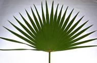Fan Palms-4 per bag