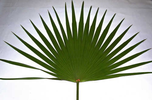 Fan Palms-4 per bag