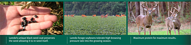 Laredo's unique black seed coat preserves the seed allowing to to re-seed itself. Laredo forage soybeans tolerate high browsing pressure late into the growing season. Maximum protein for maximum results.