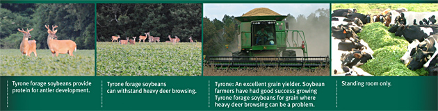 Tyrone forage soybeans provide protein for antler development. Tyrone forage soybeans can withstand heavy deer browsing. Tyrone: An excellent grain yielder. Soybean farmers have had good sucess growing Tyrone forage soybeans for grain where heavy deer browsing can be a problem. Standing room only.