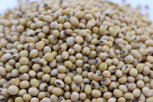 Derry Soybean Seed